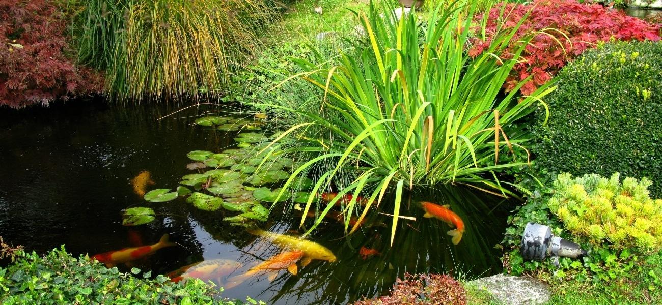 Poisson bassin ext rieur choisir et lever ooreka for Poisson de bassin exterieur
